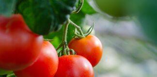 Jak sadzić pomidory
